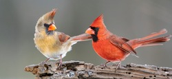 Northern Cardinal Pair Perched on Driftwood