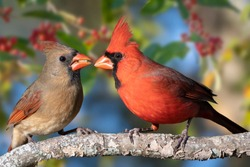 Northern Cardinal Pair Perched on Limb Against Holly Berry Background on a Blue Sky Day in Autumn in Louisiana