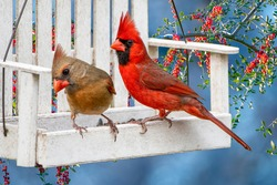 Northern Cardinal Pair Perched on Small Swing Bird Feeder With A Background of Holly Berries Against a Blue Sky