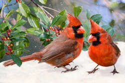 Northern Cardinals on Snowy Day with American Holly in Background
