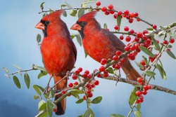 Northern Cardinals on Yaupon Holly Branch
