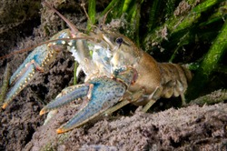 Northern crayfish underwater in the St. Lawrence river