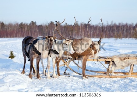 Northern deer are in harness on snow.