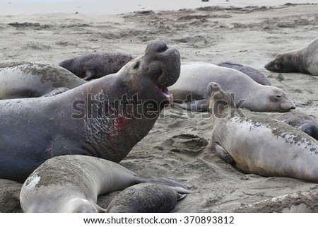 Shutterstock Northern Elephant Seal (Mirounga angustirostris) male among females and pups, California, USA