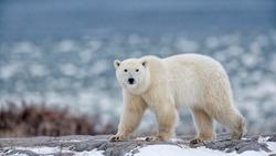 northern Ellesmere Island/Canada-01/21/2019.  photo of polar bear in Canada