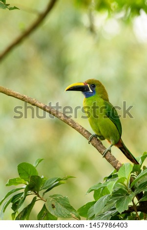 Northern Emerald Toucanet (Aulacorhynchus prasinus) - On a Branch