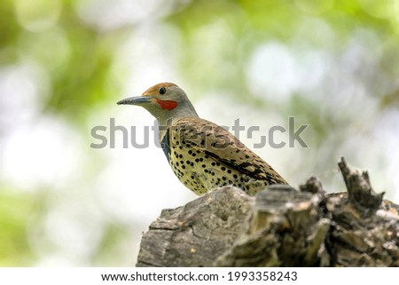 Northern Flicker - A close-up and low-angle view of a male Northern Flicker perching in a Spring forest. Colorado, USA. Foto stock ©