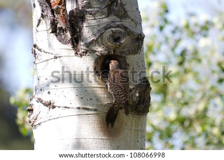 Northern Flicker and nest close up - stock photo