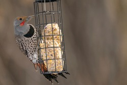 Northern Flicker perched on a suet feeding cage