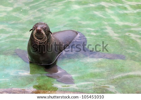 Northern fur seal (Callorhinus ursinus) in the water in shallow water