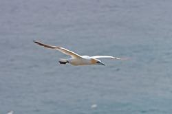 Northern Gannet in Flight Near Cape St Mary in Newfoundland, Canada