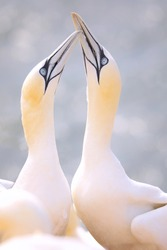 Northern Gannet in wild natureA few birds are welcome.  Popular seabird. Photo from germany. Two birds in pair.