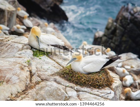 Northern gannet (Morus bassanus).Seabird, the largest species of the gannet family. Female squats in nest.The male invites her to mate as a gift by offering fresh herbs. #1394464256