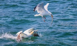 Northern gannet tries to take fish from a seagull at North Sea near Bempton Cliffs, Yorkshire coast, UK. Close up photo. Selective photo