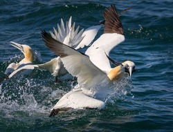 Northern gannets fishing at North Sea, UK. Close up photo. Main focus on head of bird