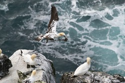 Northern gannets on a close up horizontal picture. A rare and endangered marine bird species nesting on cliffs.
