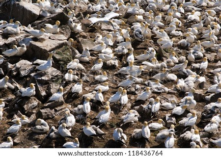 Northern Gannets rookery at Cape St. Marys Ecological Reserve in Newfoundland, Canada