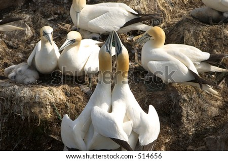 "Northern Gannets "" sea bird"" in couples on New Foundland coast, Canada"