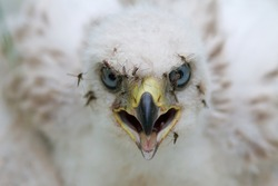 Northern goshawk (Accipiter gentilis). Eye to eye portrait of a baby hawk. Many mosquitoes bite and drink the blood of the chick. Wild bird of prey in its natural habitat. Chukotka, Siberia, Russia.