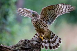 Northern goshawk juvenile in the forest in the south of the Netherlands