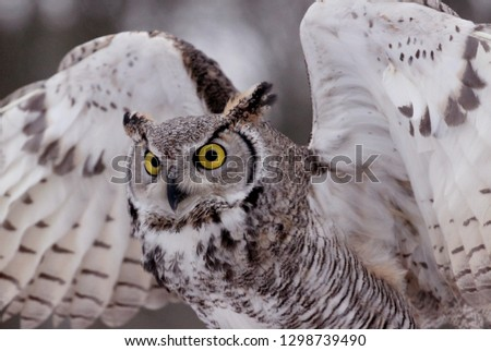 Northern Great Horned Owl #1298739490