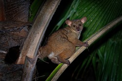 Northern Greater Galago - Otolemur garnettii also Garnett greater galago or Small-eared Greater Galago, nocturnal, arboreal primate endemic to Africa, eared cute brown small monkey.