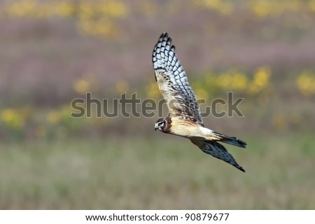 Northern Harrier (Circus cyaneus), also known as a Marsh Hawk in flight over colorful background.