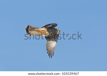 Northern Harrier, Gray Hawk (Circus cyaneus hudsonius) in flight