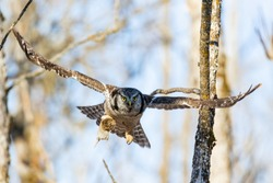 Northern hawk owl in flight with a prey,  Eatern Ontario.
