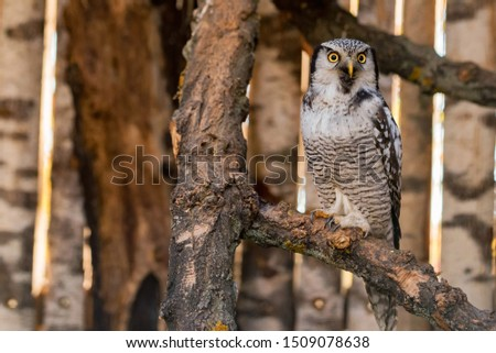 Northern hawk owl or Surnia ulula perches on a branch