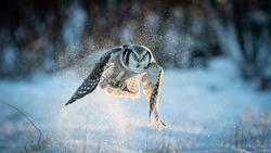 Northern Hawk-owl (Surnia ulula) catching mouse with negative space