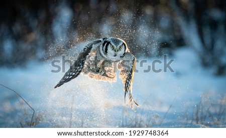 Northern Hawk-owl (Surnia ulula) catching mouse with negative space Сток-фото ©
