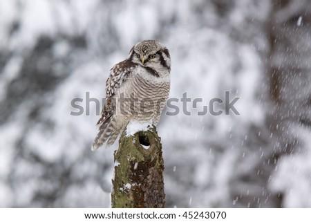 Northern Hawk owl /Surnia ulula/ while snowing