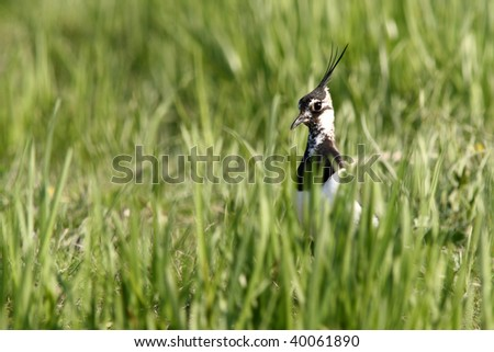 northern lapwing in a field of grass
