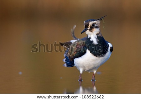 Northern lapwing primps in the early light of dawn