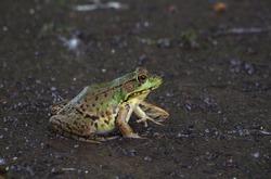 Northern leopard Frog at rapids parc
