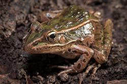 Northern Leopard frog macro field guide portrait