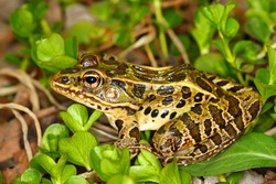 Northern Leopard Frog (Rana pipiens) at Lib Conservation Area in northern Illinois