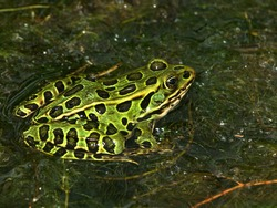 Northern Leopard Frog (Rana pipiens) at North Bass Lake - Wisconsin