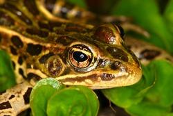 Northern Leopard Frog (Rana pipiens) close up.