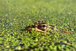 Northern Leopard Frog (Rana pipiens) near the Kishwaukee River in northern Illinois