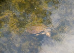 Northern longneck turtle swimming in pond in the Northern Territory of Australia