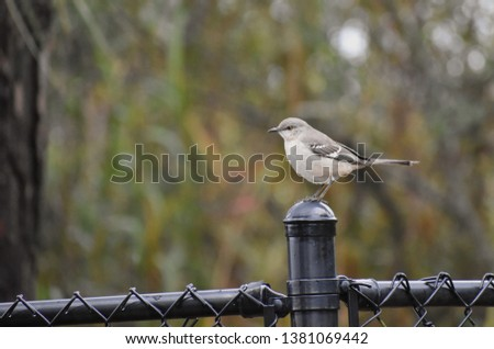 Northern Mockingbird, a small grey songbird, sitting on a fence with out of focus foliage in background.