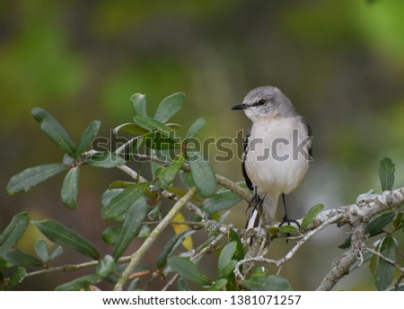 Northern Mockingbird, a small grey songbird, sitting on a leafy branch with out of focus foliage in background.
