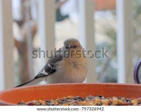 Northern Mockingbird Feeding - Photograph of a Northern Mockingbird feeding on peanuts in a clay saucer on a patio.  Selective focus on the mockingbird's head area.