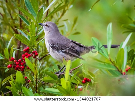 Northern mockingbird in a red berry shrub at Estero Bay Preserve State Park in Southwest Florida.