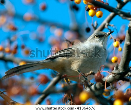 Northern Mockingbird in a tree eating late Autumn berries. Nice detail of plumage and head. Blue sky
