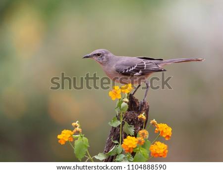 Northern Mockingbird in Southern Texas