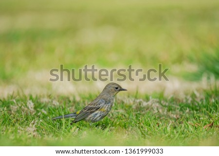 Northern Mockingbird jumping on the floor at Los Angeles, California