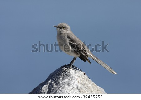 Northern Mockingbird (Mimus polyglottos), sitting on large rock with ocean in background
